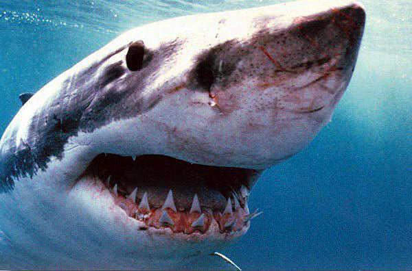 Установлена личность пострадавшего от нападения акулы в Приморье на пляже в бухте Теляковского.