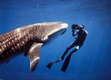Terry Maas photos a whale shark from 3 feet of its mouth, photo by Bob Caruso